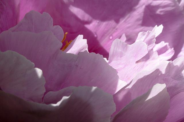 Pentecost, Peony, Macro, Nature, Spring, Blossom, Bloom