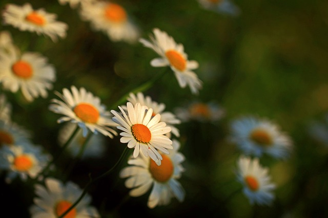 Daisies, Flowers, Blossom, Bloom, Meadow Margerite