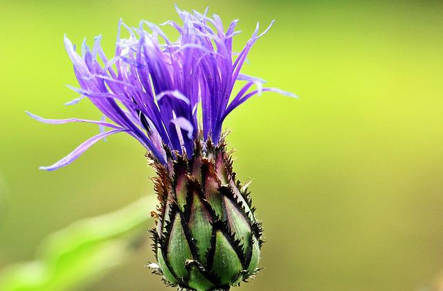 Cornflower, Mountain Knapweed, Flower, Blossom, Bloom