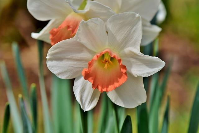 Narcissus, Flower, Blossom, Bloom, Bloom