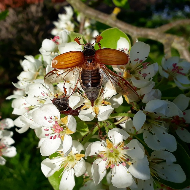 Maikäfer, Blossom, Bloom, Insect, Nature, Wing
