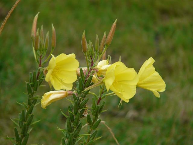 Primrose, Blossom, Bloom, Yellow, Oenothera Biennis