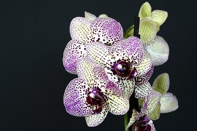 Orchids, Flowers, Blossom, Bloom, White Violet