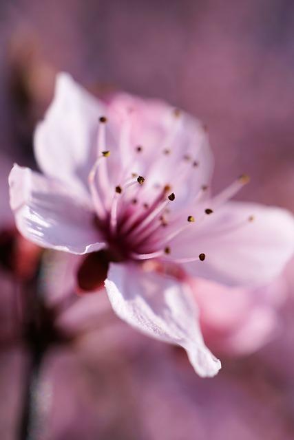 Cherry, Blossom, Bloom, Flower, Plant, Nature, Petal