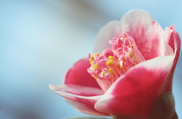 Camellia, Camellia Flower, Pink, Nature, Blossom, Bloom
