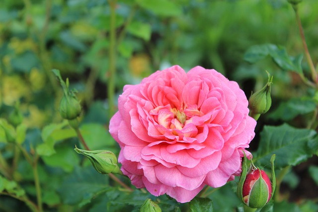 Flowers, Rose, Blossom, Bloom, Pink, Nature