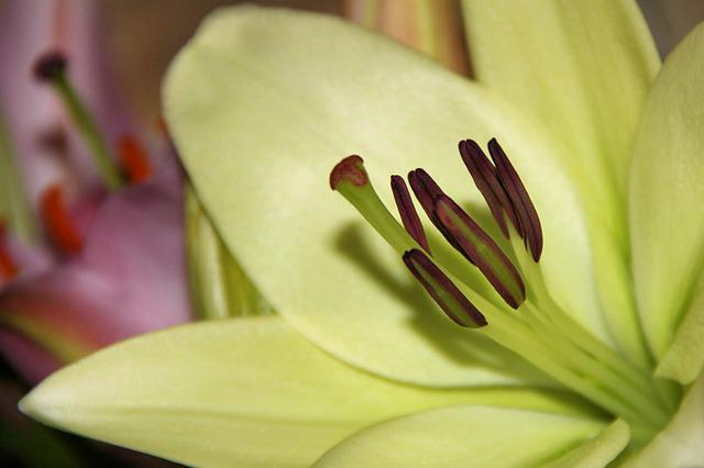 Lily, Daylily, White, Pistil, Flower, Blossom, Bloom