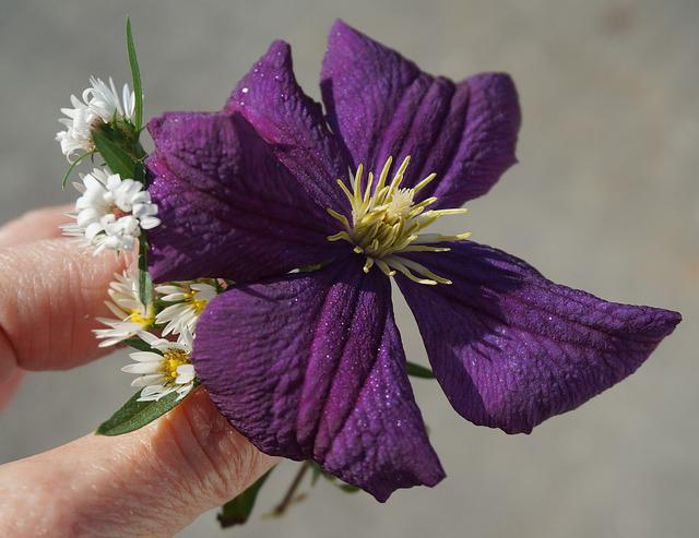 Fall Clematis, Asters, Flower, Blossom, Bloom, Plant