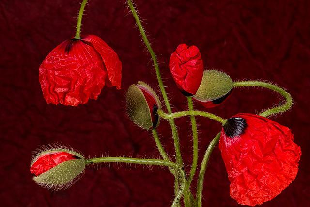 Poppy, Blossom, Bloom, Klatschmohn, Red, Poppy Flower