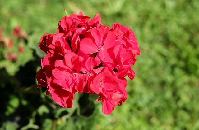 Geranium, Flower, Blossom, Bloom, Flowers, Red, Crop