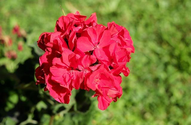 Geranium, Flower, Blossom, Bloom, Flowers, Red, Crop