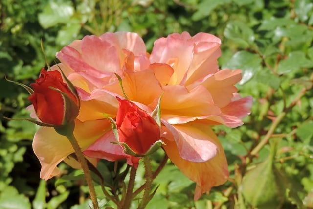 Blossom, Bloom, Rose, Floribunda, Salmon, Bud