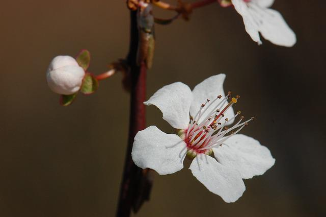 Spring, Blossom, Bloom, Cherry Blossom, Tree, Bloom