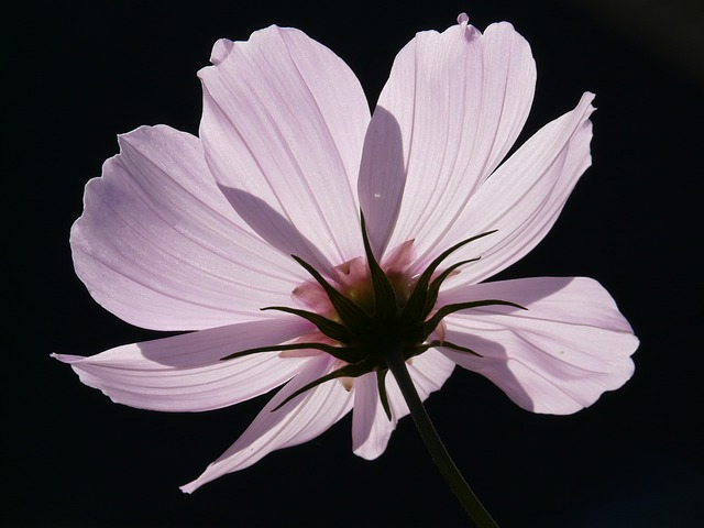 Cosmea, Flower, Blossom, Bloom, Light Pink, Translucent