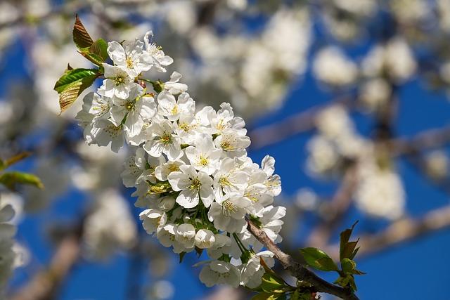 Cherry Blossoms, Bloom, Spring, Tree, Branch, Blossom