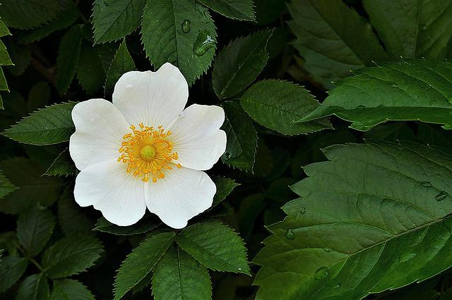 Wood Anemone, Blossom, Bloom, Flower, White, Close Up