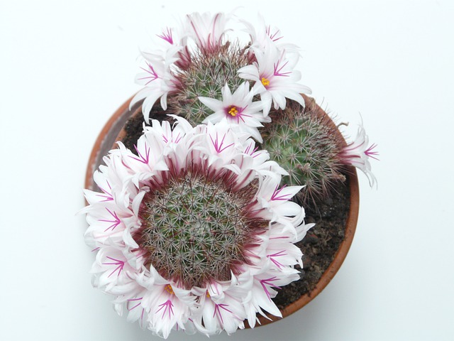 Blossoming Wreath, Cactus, White, Flowers, Bloom