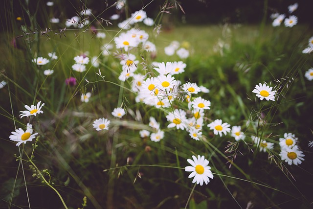 Bloom, Blooming, Blossoms, Chamomile, Color, Field