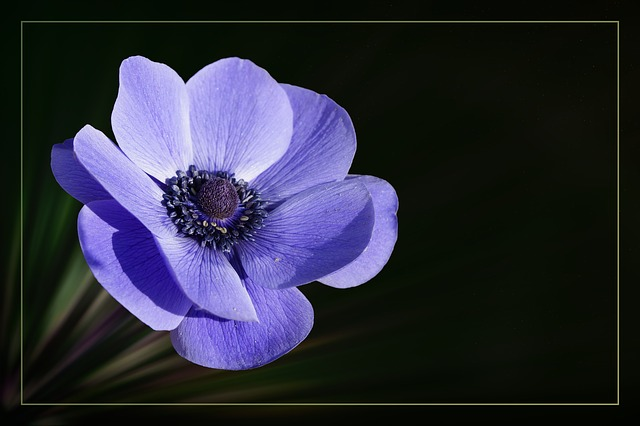 Anemone, Crown Anemone, Blossom, Bloom, Flower, Blue