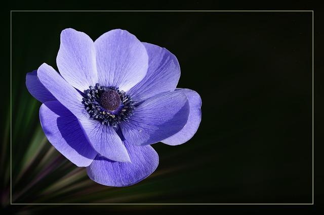 Anemone, Crown Anemone, Blossom, Bloom, Flower, Blue