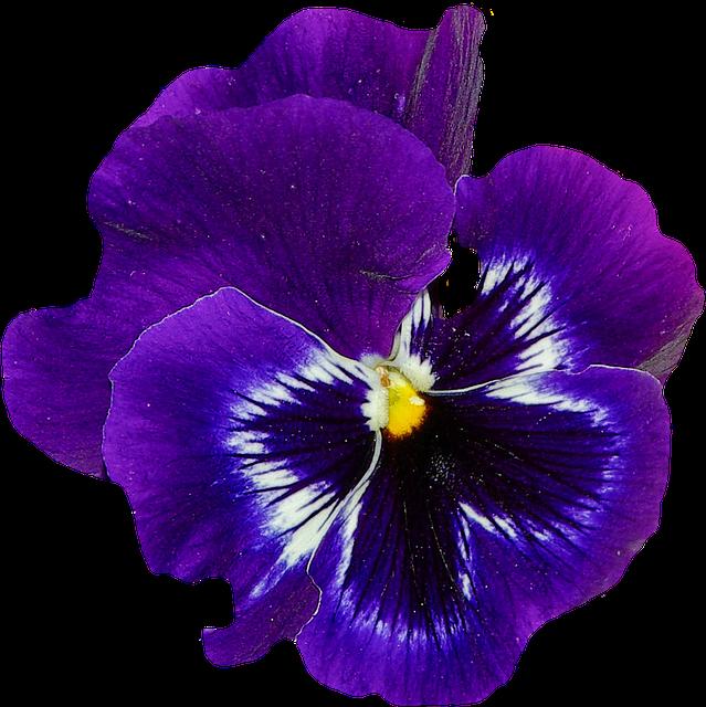 Pansy, Spring, Flower, Blossom, Bloom, Blue, Plant