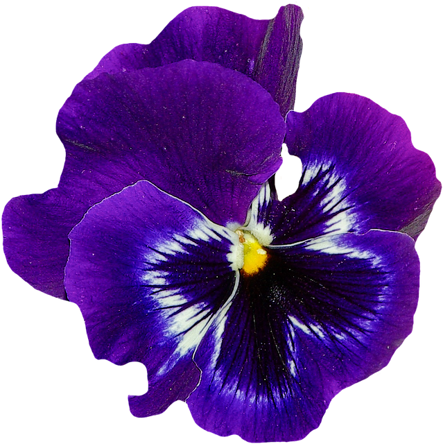 Free Photo Bloom Blue Pansy Plant Blossom Flower Spring