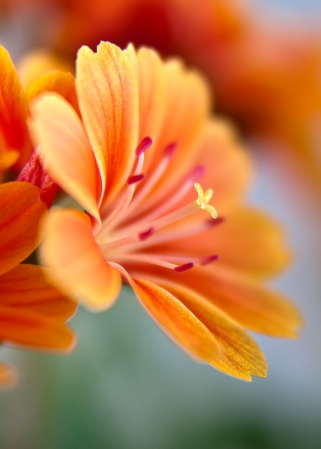 Lewisia, Bitterwurz, Blossom, Bloom, Orange, Bright