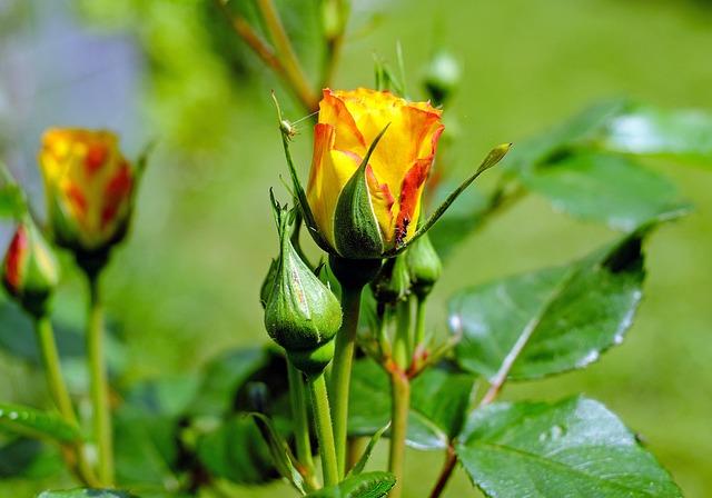 Rose, Flower, Blossom, Bloom, Yellow Orange, Bud
