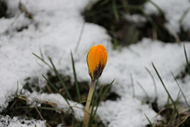 Crocus, Yellow, Bud, Snow, Bloom, Blossom, Flower