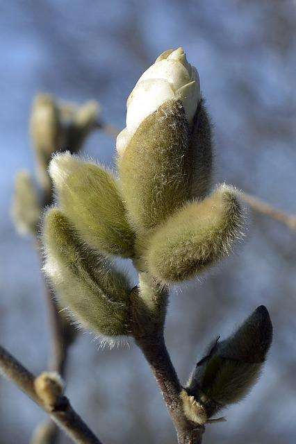Magnolia, Star Magnolia, Bud, White, Blossom, Bloom