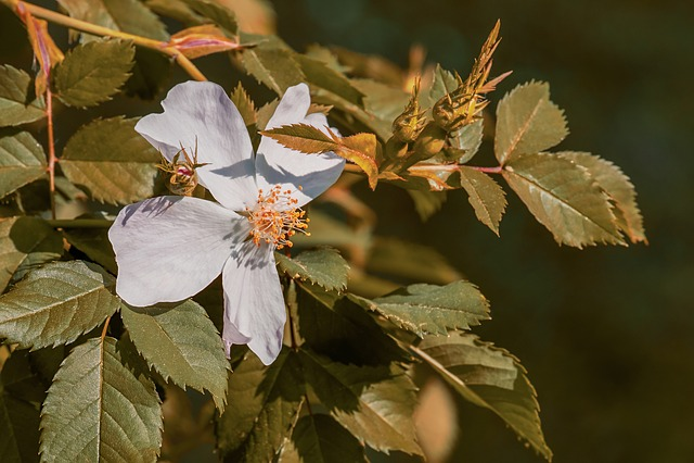 Wild Rose, Bush Rose, Bloom, Pink Corymbifera