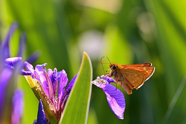 Butterfly, Thick Head Moth, Butterflies, Blossom, Bloom