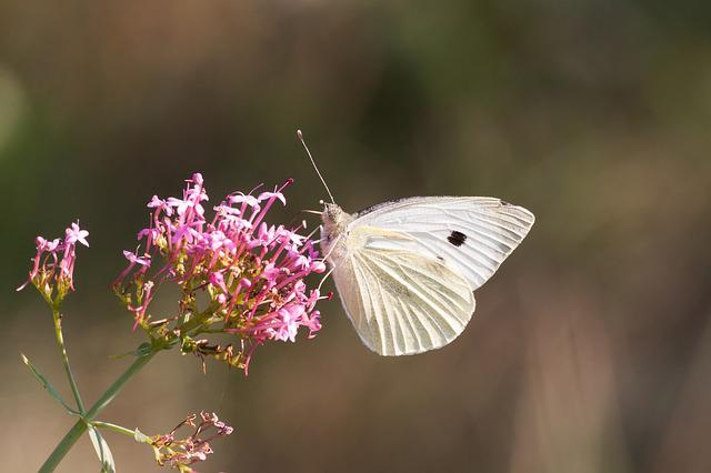 White, Butterfly, Insect, Butterflies, Blossom, Bloom