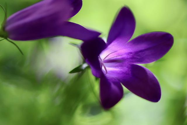 Bellflower, Blossom, Bloom, Purple, Campanula, Flower