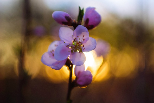 Flowers, Nature, Bloom, Cherry Blossom, Sunset, Evening