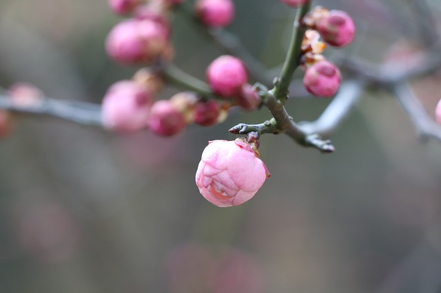 Nature, Plum Blossom, Bloom, Chinese New Year, Winter