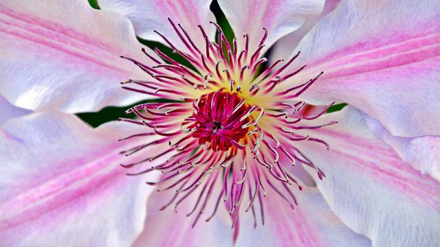 Clematis, Blossom, Bloom, Close, Pink, Flower, Spring