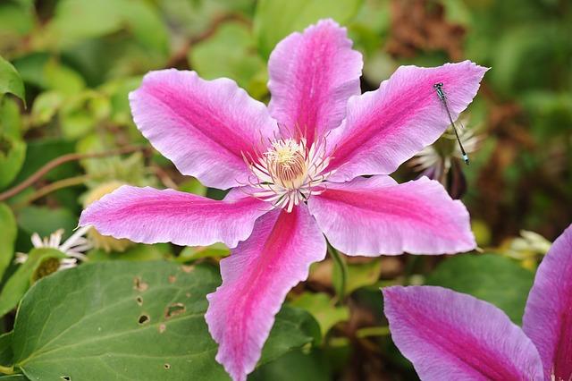 Clematis, Flower, Blossom, Bloom, Climber, Garden