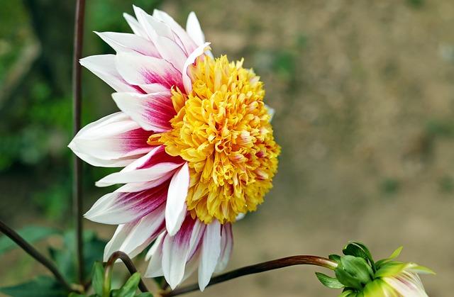 Dahlia, Flower, Blossom, Bloom, Flowers, Colorful