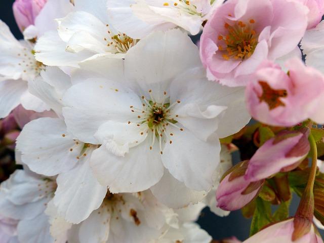 Column Cherry, Japanese Cherry Trees, Blossom, Bloom