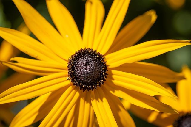 Coneflower, Rudbeckia, Yellow Flower, Blossom, Bloom