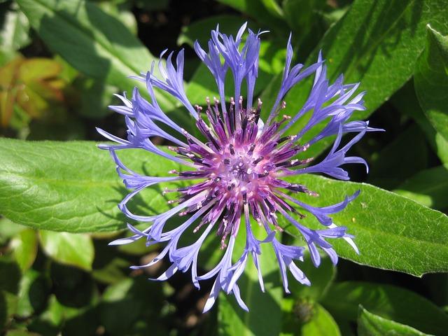 Flower, Cornflower, Summer, Blue, Blossom, Bloom, Plant
