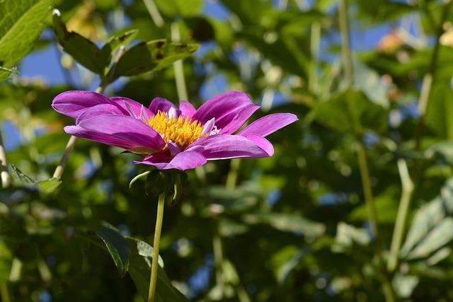 Cosmos, Blossom, Bloom, Flower, Cosmea, Garden, Plant