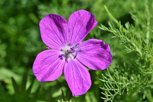 Cranesbill, Flower, Blossom, Bloom, Purple, Tender