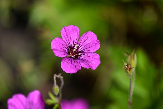 Cranesbill, Geranium, Flower, Plant, Bloom