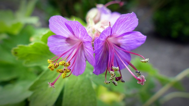 Bee Pollen, Pollen, Cranesbill, Blossom, Bloom, Close