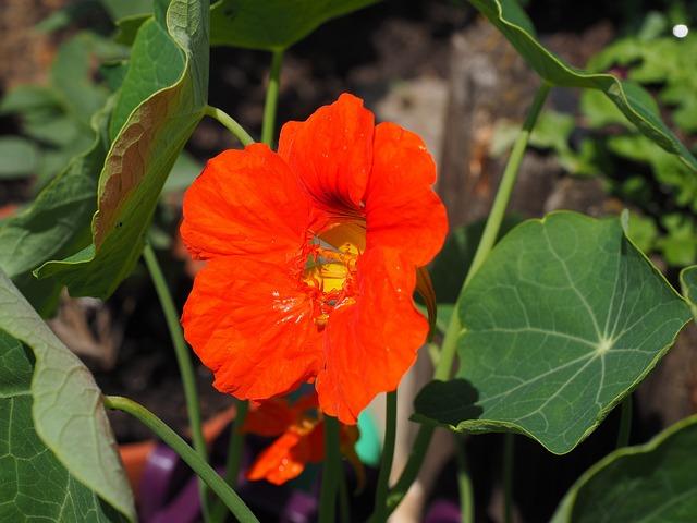 Nasturtium, Cress, Blossom, Bloom, Carbine Greenhouse
