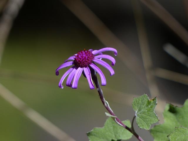 Crimson Cinerarie, Blossom, Bloom, Violet