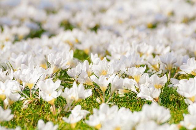 Crocus, Flower Meadow, White, Flowers, Bloom, Spring