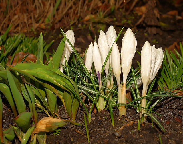Crocus, Flowers, Bloom, Spring Flowers, Plant, March